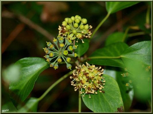 Ombrelles de fleurs de Lierre, flore Bassin d'Arcachon (33)