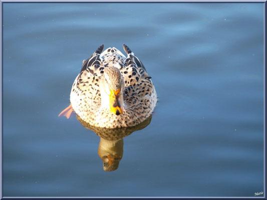 Madame canard dans le bassin à l'entrée du Parc de la Chêneraie à Gujan-Mestras (Bassin d'Arcachon)