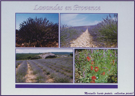 Lavandes en Provence (carte postale, collection privée)