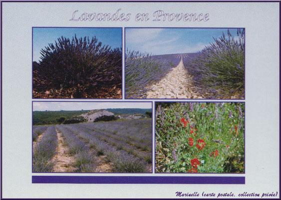 Lavandes en Provence (carte postale, collection privée)