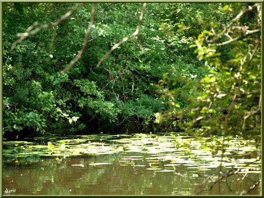 Nénuphars et reflets dans le Canal des Landes au Parc de la Chêneraie à Gujan-Mestras (Bassin d'Arcachon)
