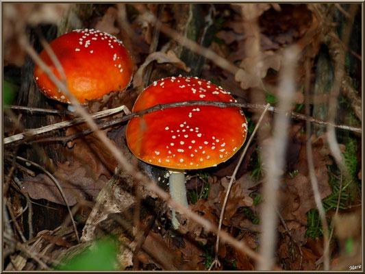 Amanite Tue-mouches, en duo, en forêt sur le Bassin d'Arcachon