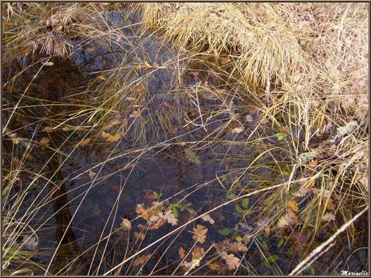 Molinie ou Molinie Bleue (Molinia caerulea) ou Paleine en forêt, flore Bassin d'Arcachon (33)