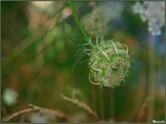 Fleur de Carotte sauvage en bouton, flore sur le Bassin d'Arcachon (33)