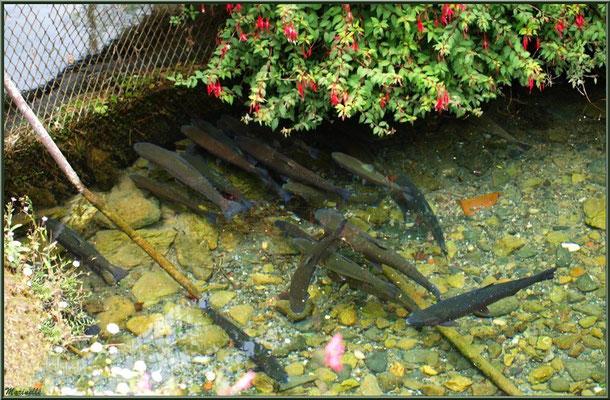 Truites au fil de l'eau à la Pisciculture des Sources à Laruns, Vallée d'Ossau (64)