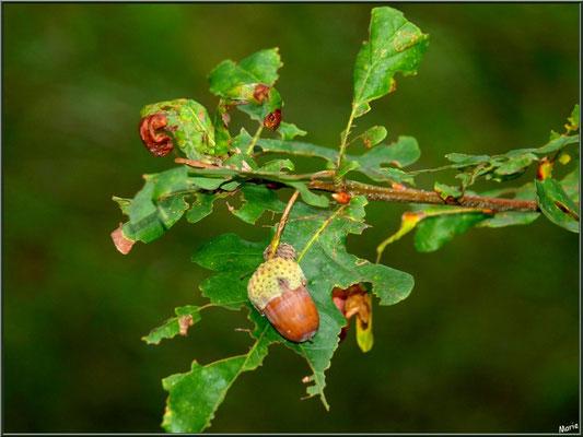 Gland de Chêne Pédonculé, flore Bassin d'Arcachon (33)