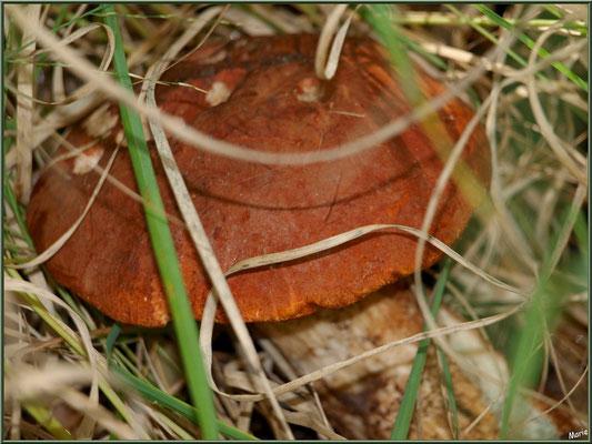 Bolet orangé en forêt sur le Bassin d'Arcachon