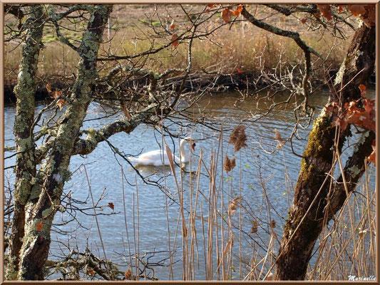 Cygne dans un réservoir, Sentier du Littoral, secteur Port du Teich en longeant La Leyre, Le Teich, Bassin d'Arcachon (33)