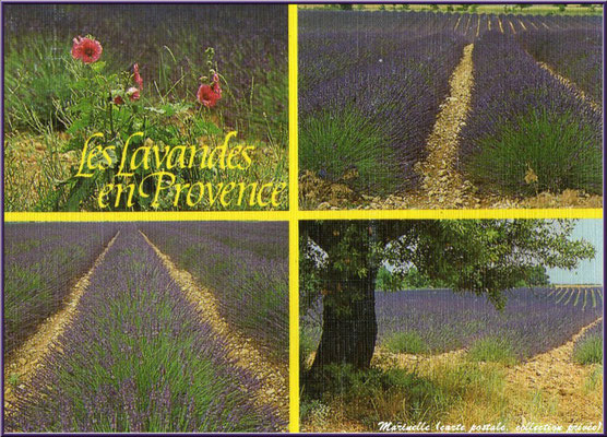 Les lavandes en Provence (carte postale, collection privée)