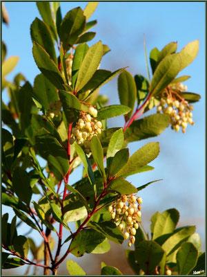 Arbousier en fleurs, flore sur le Bassin d'Arcachon (33)