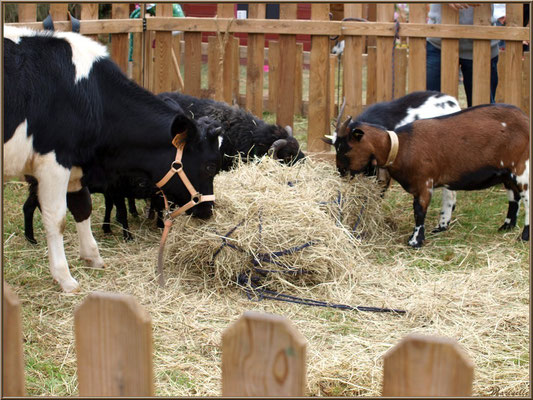 Assortiment animalier à la mini-ferme, Fête au Fromage, Hera deu Hromatge, à Laruns en Vallée d'Ossau (64)
