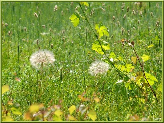 Akènes dans un champs et vigne sauvage
