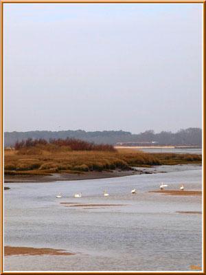 Cygnes en famille dans un chenal, côté Bassin, sur le Sentier du Littoral, secteur Moulin de Cantarrane, Bassin d'Arcachon