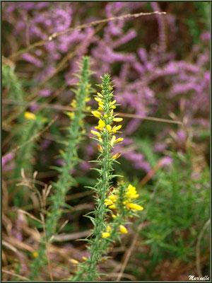 Méli mélo floral : ajonc sur fond de bruyère, forêt sur le Bassin d'Arcachon (33)