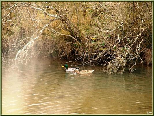 Couple de canards dans un des réservoirs sur le Sentier du Littoral, secteur Moulin de Cantarrane, Bassin d'Arcachon