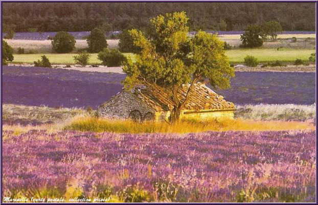 Cabanon dans un champ de lavande (carte postale, collection privée)