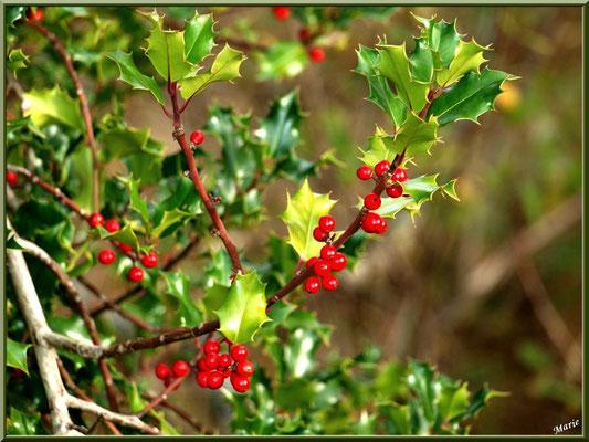 Houx avec ses boules rouges, flore Bassin d'Arcachon (33)