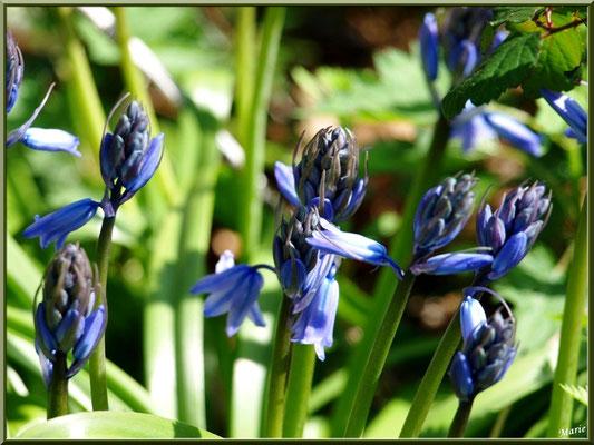 Jacinthes des Bois, flore sur le Bassin d'Arcachon (33)