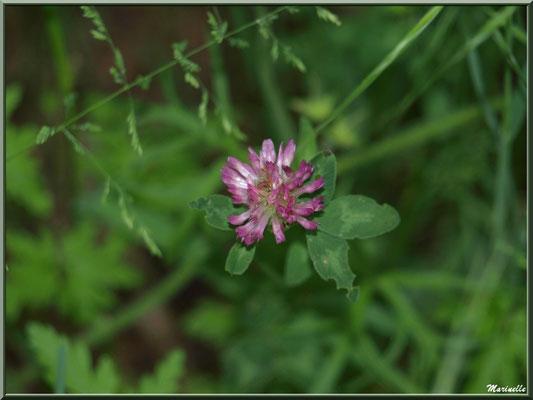 Trèfle des Prés ou Trifolium Pratense, flore sur le Bassin d'Arcachon (33)