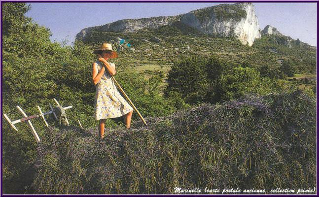 Charette de lavande récoltée  (carte postale ancienne, collection privée)