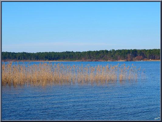 Lac de Sanguinet, roseaux et pins (Landes)