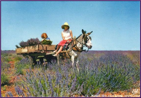 Charette et petit âne dans un champ de lavande (carte postale ancienne, collection privée)