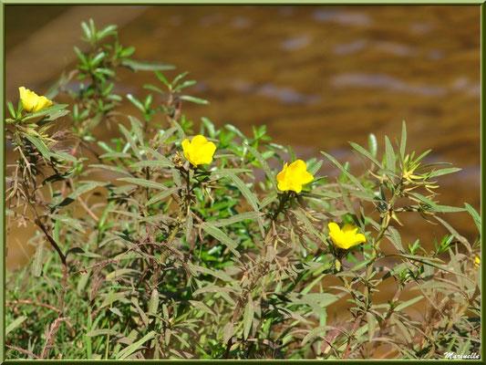 JJussie ou Ludwigia, flore sur le Bassin d'Arcachon (33)