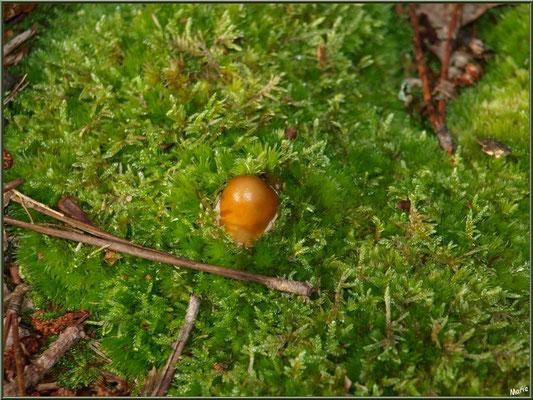 Amanite Fauve naissante en forêt sur le Bassin d'Arcachon