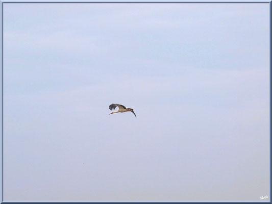 Cigogne en vol au-dessus du Sentier du Littoral, secteur Moulin de Cantarrane, Bassin d'Arcachon
