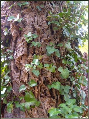 Tronc d'un Chêne Liège centenaire recouvert de lierre, en forêt de Malakoff (Le Teich), flore Bassin d'Arcachon (33)