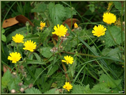 Pissenlits en fleur et akènes, flore Bassin d'Arcachon (33)