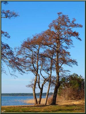 Lac de Sanguinet, aulnes, roseaux et pins (Landes)