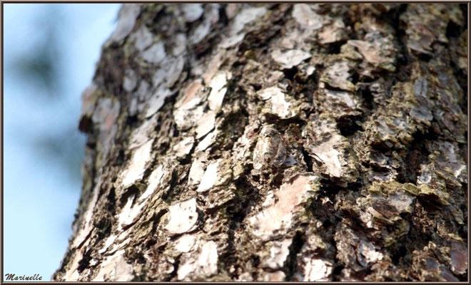 Cigale en tenue de camouflage sur le tronc d'un pin, en forêt sur le Bassin d'Arcachon (33)