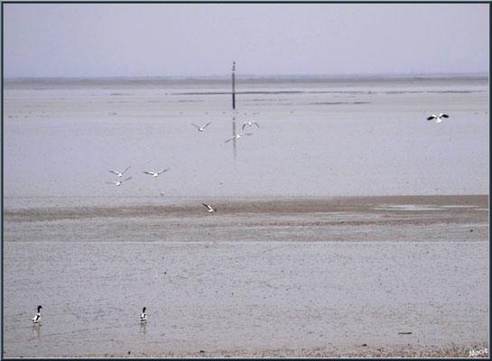 Canards Tardonne de Belon à marée basse, en bordure du Bassin en bordure du Sentier du Littoral, secteur Moulin de Cantarrane, Bassin d'Arcachon