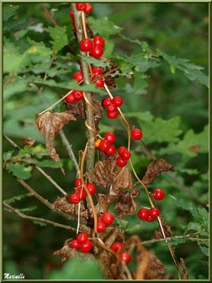 """Baies de tamier ou """"raspounchou"""" ou Herbe aux femmes battues en guirande sur une branche de chêne, flore sur le Bassin d'Arcachon (33)"""