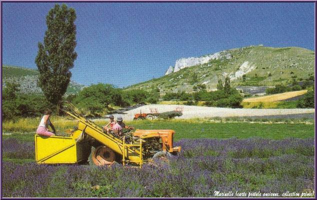 Recolte de la lavande (carte postale ancienne, collection privée)