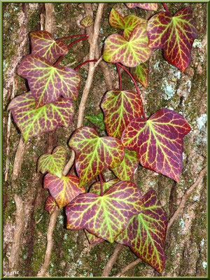 Lierre sur tronc au Parc de la Chêneraie à Gujan-Mestras (Bassin d'Arcachon)