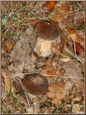 Jeunes Cèpes de Bordeaux ou Bolets en forêt sur le Bassin d'Arcachon