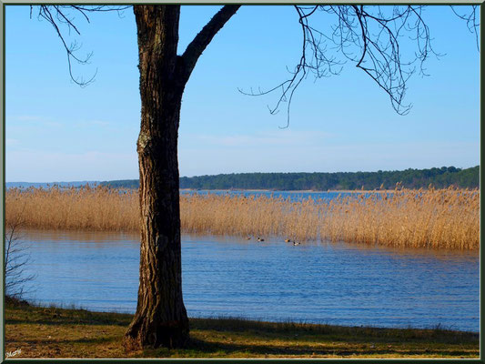 Lac de Sanguinet, aulne et roseaux (Landes)