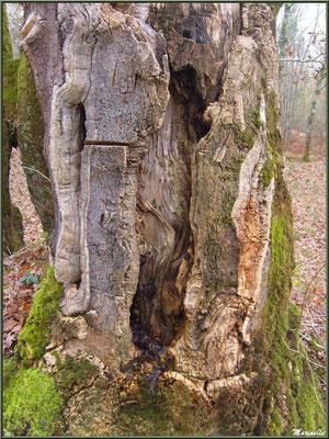 Tronc d'un Chêne Liège centenaire en forêt de Malakoff (Le Teich), flore Bassin d'Arcachon (33)