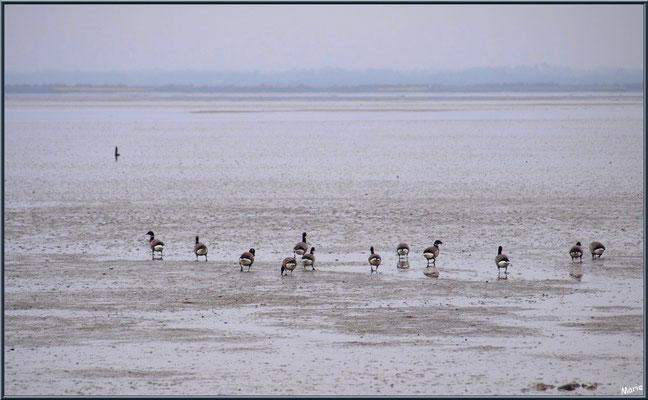 Bernaches en colonie sur le Bassin en bordure du Sentier du Littoral, secteur Moulin de Cantarrane, Bassin d'Arcachon