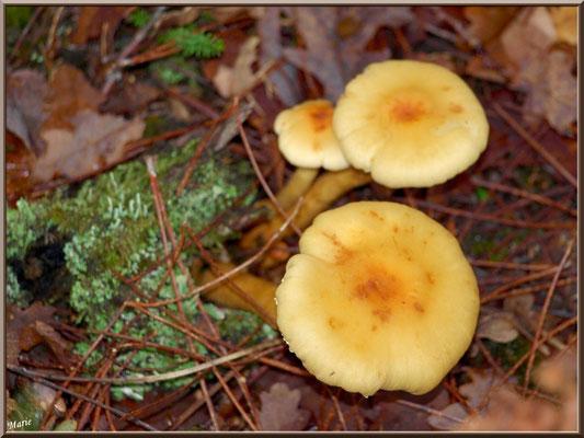 Hypholomes en Touffe en forêt sur le Bassin d'Arcachon