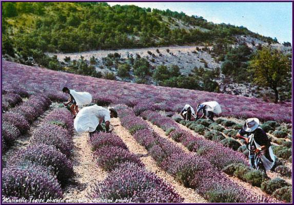 Cueillette de la lavande au pied du Mont Ventoux (carte postale ancienne, collection privée)