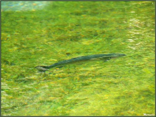 Truite au fil de l'eau du lac, voulant passer inaperçue, à la Pisciculture des Sources à Laruns, Vallée d'Ossau (64)