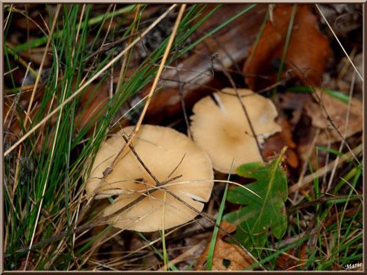 Clitocybes en Entonnoir en forêt sur le Bassin d'Arcachon