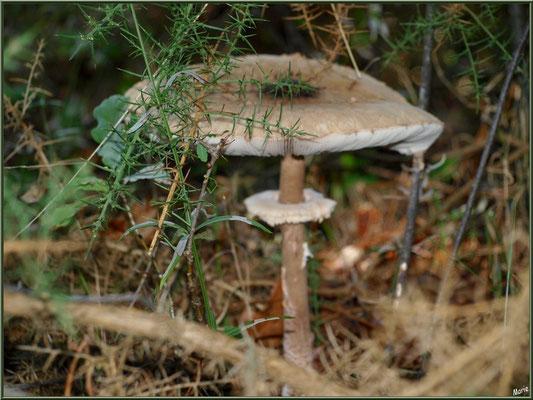 Lépiote Elevée ou Coulemelle en forêt sur le Bassin d'Arcachon