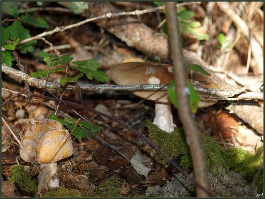 Amanites Panthère, maman et son bébé, en forêt sur le Bassin d'Arcachon