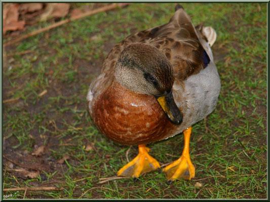 Madame canard au Parc de la Chêneraie à Gujan-Mestras (Bassin d'Arcachon)