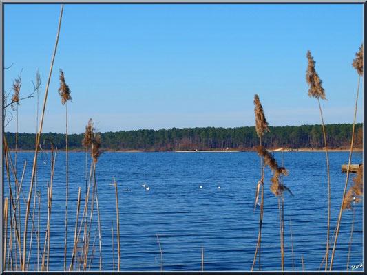 Lac de Sanguinet, roseaux, mouettes et pinède (Landes)