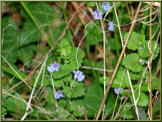 Calament caché, flore sur le Bassin d'Arcachon (33)